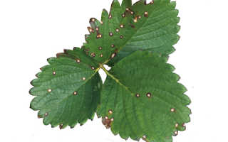 Белая пятнистость листьев земляники и томатов: фото и лечение белой пятнистости