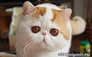 Китайский кот Снупи: о породе, фото, цена, видео