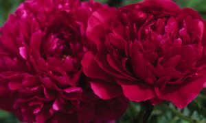 Пион Карл Розенфельд: описание травянистого сорта