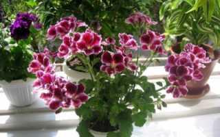 Почва для комнатной герани: какой состав грунта нужен, что именно любит цветок и как его