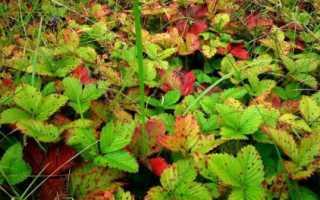 Краснеют листья у клубники: почему, что делать