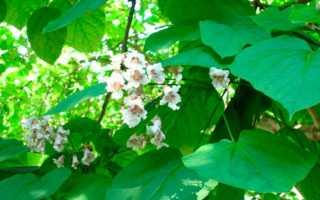 Катальпа дерево фото: описание, особенности, условия выращивания на дачном участке, особенности ухода в Подмосковье, сорта,