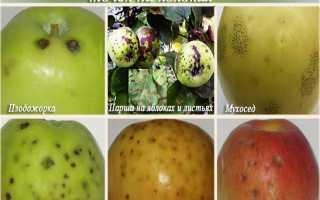 Парша на яблоне: как избавиться и чем обработать яблоки от черных точек