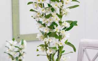 Орхидея дендробиум нобиле: уход, пересадка, полив