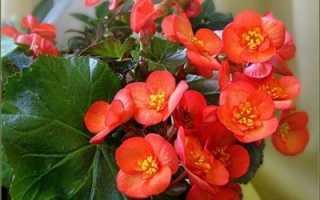 Бегония клубневая почему не цветет: от чего опадают бутоны, сохнут или скручиваются листья, как заставить