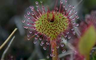 Описание хищного цветка росянка: чем питается, среда обитания и как выглядит