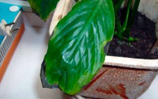 Цветок Спатифиллум: почему чернеют листья, что делать