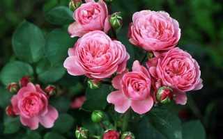 Кустовые розы: описание и фото лучших сортов для сада