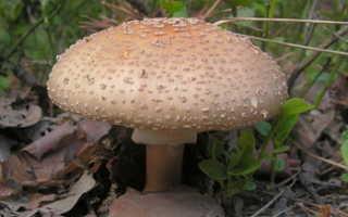 Съедобные грибы мухоморы и их фото: серо-розовый (розовый, краснеющий), оранжевый, шафранный, яйцевидный