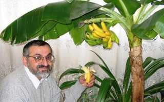 Как вырастить карликовый банан в домашних условиях?