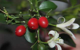 Муррайя: фото и виды, выращивание и уход за растением