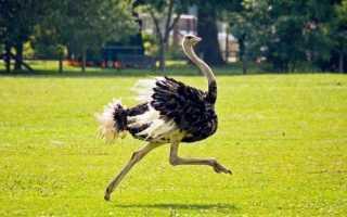 Скорость страуса (55 фото): быстро бегающая птица, какая средняя и максимальная