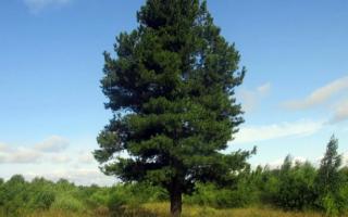 Дерево кедр: фото и описание видов кедровой сосны, уход и выращивание кедра