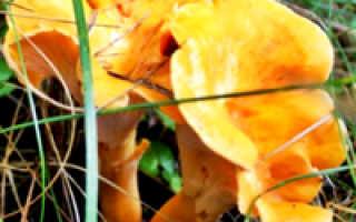Лисички — фото отличий съедобных и несъедобных видов этого гриба