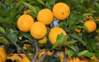 Как вырастить лимон и ухаживать за ним в домашних условиях, фото