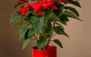 Пуансетия уход в домашних условиях Как обрезать рождественский цветок пуансетию Фото и видео