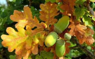 Как вырастить дуб из желудя и саженца в домашних условиях