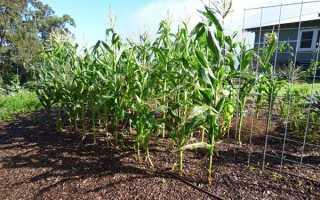 Где и как растет кукуруза: сколько времени и при какой температуре?