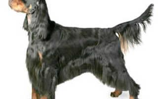 Шотландский сеттер (гордон): описание породы собак и вся информация о ней
