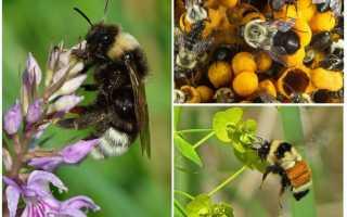 Делают ли шмели мед