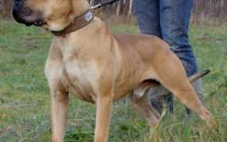 Собака Ка де бо: характеристика породы, описание с фото и отрицательные отзывы владельцев