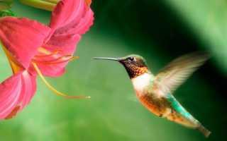 Колибри – описание, виды, где обитает, чем питается, фото
