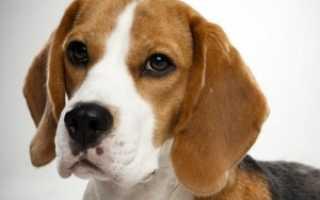 Бигль: описание породы, характер собаки, фото, цена щенков