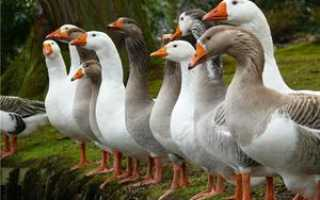 Породы домашних гусей: название и описание различных видов крупных гусей, особенности разведения, фото