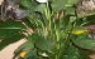 Почему у спатифиллума бледные листья, ошибки в уходе, болезни и вредители