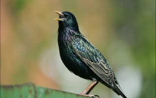 Птица скворец (50 фото): как выглядит гнездо и яйца, описание и виды, на кого похожий,