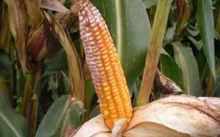 Болезни и вредители кукурузы: как с ними бороться?