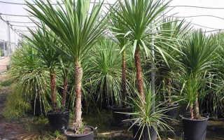 Комнатный цветок кордилина: фото разновидностей растения, уход в домашних условиях и размножение