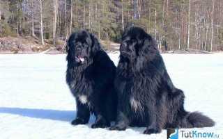 Описание породы собак ньюфаундленд, характер, уход и содержание, особенности экстерьера