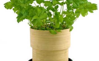 Посадка и выращивание петрушки на подоконнике из семян в домашних условиях