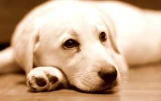 Глисты от собаки: фото, симптомы и лечение
