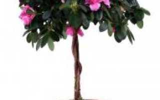 Азалия (43 фото): уход в домашних условиях, белые цветы, как поливать растение, штамбовая в горшке,