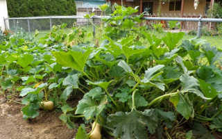 Как вырастить тыкву в открытом грунте, полив, прищипывание, видео