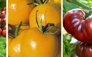 11 высокоурожайных сортов томатов для открытого грунта: какие самые урожайные и вкусные помидоры