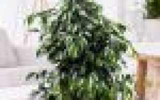 Как правильно выращивать фикусы Бенджамина: правила выращивания, почему не растёт, пересадка и размножение