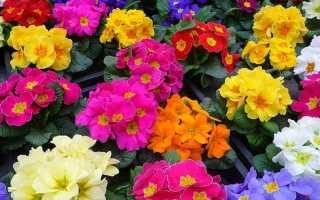 Примула садовая – фото, виды, описание
