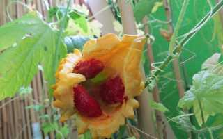 момордика: посадка и уход, фото, сорта, выращивание в открытом грунте, размножение и сочетание в ландшафтном