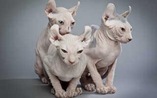 Кошка эльф: описание внешности и характера, уход за питомцем и его содержание, выбор котёнка, отзывы