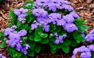 Цветы агератум мексиканский: фото, выращивание из семян рассадой, посадка и уход, цвета и сорта