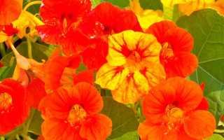 Цветы настурция: посадка и уход, размножение и болезни растения