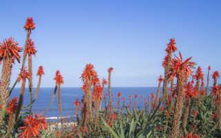 Комнатный цветок агава: лечебные свойства растения