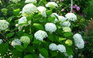 Цветок гортензия: посадка и уход, фото, выращивание метельчатой, крупнолистной, древовидной
