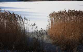 Тростник: фото и виды, выращивание и уход за растением