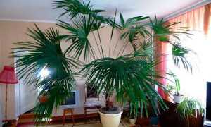 Болезни и вредители пальм и как с ними бороться