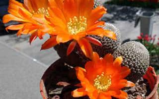 Ребуция (Rebutia): ботаническое описание кактуса, принципы ухода в домашних условиях и в открытом грунте, а