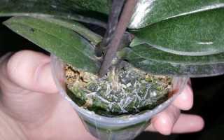 В Орхидее завелись мошки: что делать?